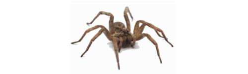 Araignées / Scolopendres